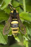 BålgetingmalSesia apiformis, fjäril royaltyfri bild
