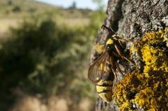 BålgetingmalSesia apiformis, fjäril fotografering för bildbyråer