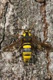 BålgetingmalSesia apiformis, fjäril arkivfoto