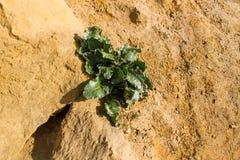 Bèta vulgaris maritima, overzeese biet stock afbeelding