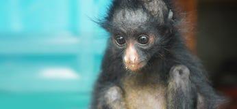 Bébé équatorien de singe d'araignée Noms communs : Arana mono, maquisapa Photographie stock