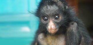 Bébé équatorien de singe d'araignée Noms communs : Arana mono, maquisapa Photographie stock libre de droits