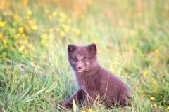Bébé animal sauvage mignon, petit animal de renard arctique ou lagopus de Vulpes dans l'habitat naturel images libres de droits
