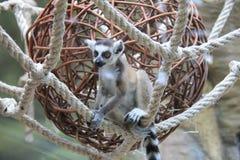 bébé Anneau-coupé la queue de lémur photo libre de droits
