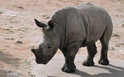 Bébé blanc de rhinocéros Photographie stock