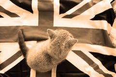 Bébé britannique de shorthair Images libres de droits