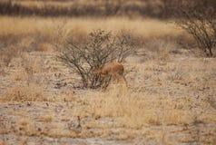 Bébé d'impala Photographie stock