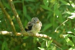 Bébé d'oiseau photos stock