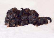 Bébé d'un mois aux cheveux longs de chiots de berger allemand Photo libre de droits