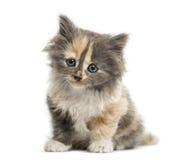 Bébé d'un mois de chaton de Shorthair d'Européen, d'isolement sur le blanc Photographie stock libre de droits