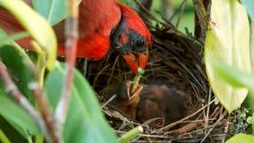 Bébé de alimentation cardinal masculin dans le nid Image libre de droits