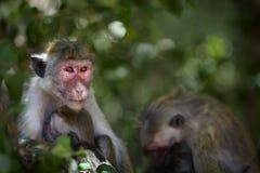 Bébé de alimentation de singe Photographie stock