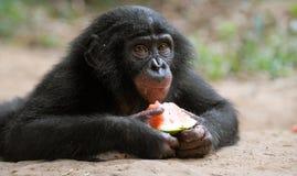 Bébé de bonobo mangeant la pastèque Le Republic Of The Congo Democratic Parc national de BONOBO de Lola Ya Image stock