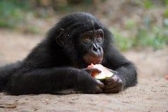 Bébé de bonobo mangeant la pastèque Le Republic Of The Congo Democratic Parc national de BONOBO de Lola Ya Photos libres de droits