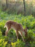 Bébé de cerfs communs affrichés Images stock