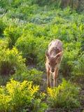 Bébé de cerfs communs affrichés Image stock