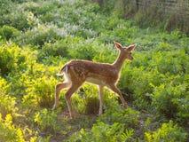 Bébé de cerfs communs affrichés Images libres de droits