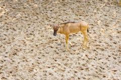 Bébé de chèvre de montagne Images libres de droits