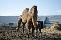 Bébé de chameau avec la mère Photographie stock libre de droits