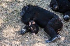 Bébé de chimpanzé avec des sommeils de mère, Afrique Photo libre de droits