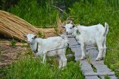 Bébé de deux chèvres sur l'herbe Image libre de droits