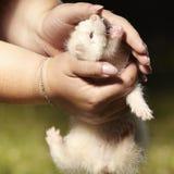 Bébé de furet dans des mains acérées de parc d'été d'éleveur Image libre de droits