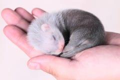 Bébé de furet dans des mains humaines Image libre de droits