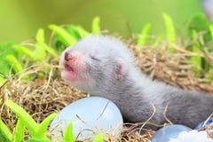 Bébé de furet dans le nid du foin Images stock
