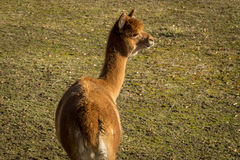 Bébé de lama Image libre de droits