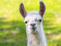 Bébé de lama (glama de lama) Images stock