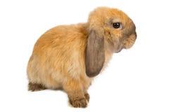 Bébé de lapin orange Images stock