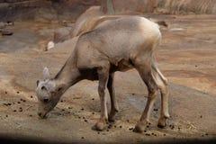 Bébé de mouflons d'Amérique photographie stock libre de droits