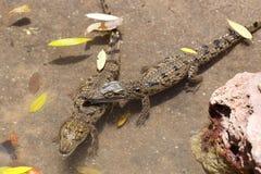 Bébé de Nile Crocodile Images libres de droits