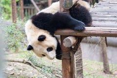 Bébé de panda dans le jeu Photo stock