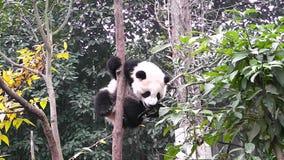Bébé de panda géant banque de vidéos