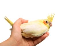 Bébé de perruche de Cockatiel sur le blanc Photographie stock