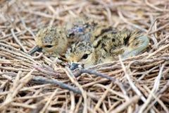 Bébé des oiseaux Noir-à ailes d'échasse Photographie stock