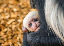 Bébé du guereza enveloppé Image libre de droits