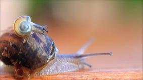 Bébé escargot rampant au-dessus de la coquille d'escargot clips vidéos