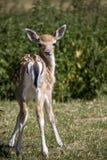 Bébé européen de cerfs communs affrichés image libre de droits