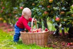 Bébé garçon mignon sélectionnant les pommes fraîches de l'arbre Photos libres de droits