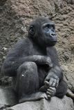Bébé Gorilla Looking Upward While Sitting images stock