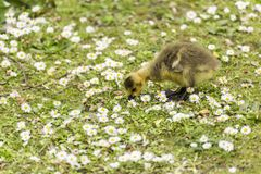 Bébé Gosling picotant pour la nourriture au sol parmi une mer des marguerites photographie stock
