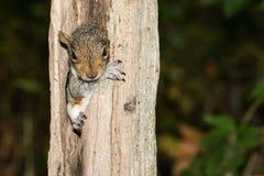 Bébé Gray Squirrel Images libres de droits