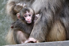 Bébé japonais de singe Photo libre de droits
