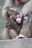 Bébé japonais de singe Photographie stock