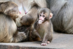Bébé japonais de singe Images libres de droits