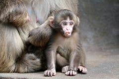 Bébé japonais de singe Photos libres de droits