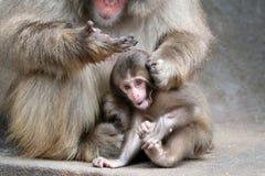 Bébé japonais de singe Image libre de droits