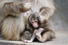 Bébé japonais de singe Photo stock